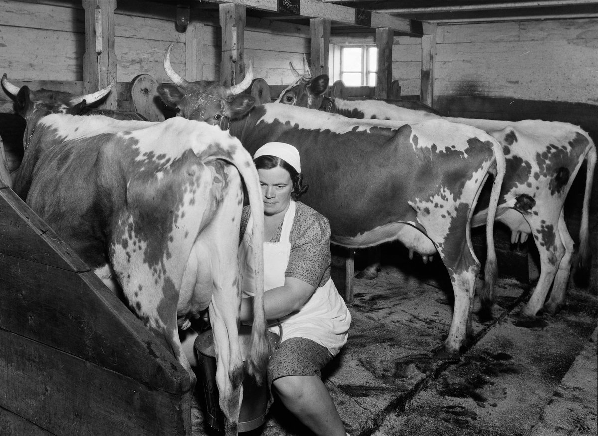 Woman milking a cow in an oldfashioned cowshed. Hadeland, Oppland, Norway in 1947-48. | Photo: Leif Ørnelund - OB.Ø51/1346 digitaltmuseum.no - CC BY-SA.