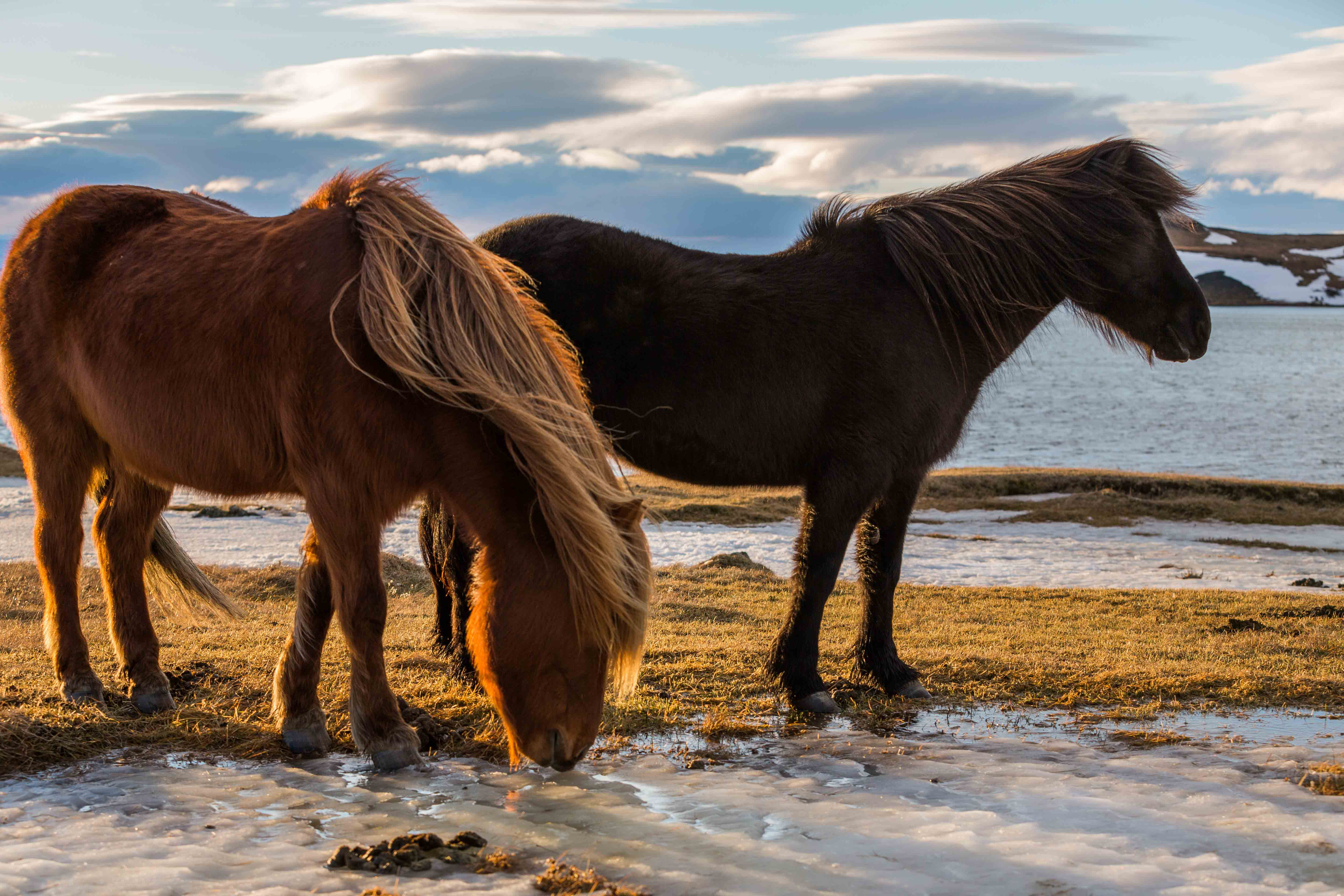 Two horses in the sunset. The ancient Scandinavian horse, here represented by the Icelandic horse of today. | Photo by Jamen Percy - adobe stock - copyright.