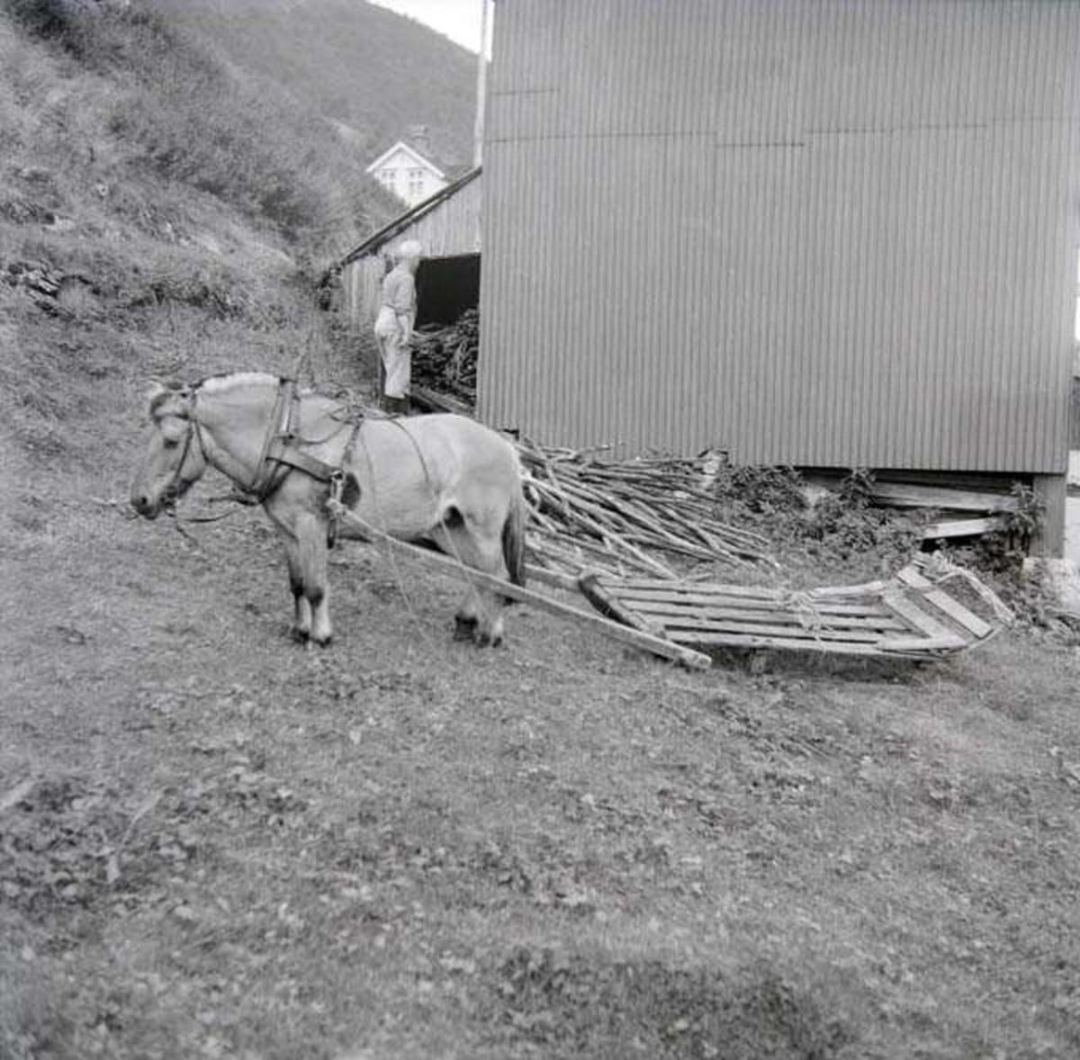 Amandus Ellingsen and his Norwegian Fjord horse with simple wooden sledge. The location is Kvantoland, Sørfold, Nordland in 1968. | Photo by Lyder Kvantoland - digitaltmuseum.no SLH.F.000001-06232 - CC BY-SA.