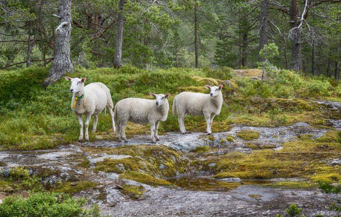 Norwegian sheep enjoying the wonders of summer pasture. Near Likholefossen, Gaular, Sogn og Fjordane.   Photo: compuinfoto - adobe stock - copyright.