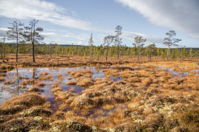 All over Norway there are areas of bogs and wetland. This photo is from the Femundsmarka National Park in Hedmark and Trøndelag. | Photo: Dace Znotina - adobe stock - copyright.