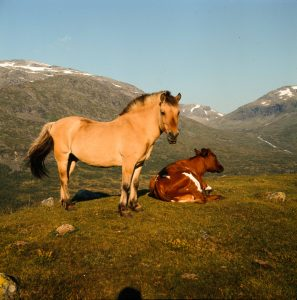 A fjord horse and a young cow on summer pasture. Jotunheimen in 1968. | Photo: Paul A. Røstad - digitaltmuseum.no DEX_PR_000749 - CC BY-SA.