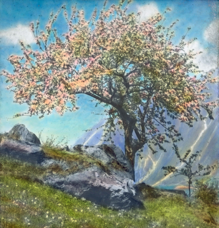 A fruit tree in bloom in Hardanger, Hordaland.   Photo: Anders Beer Wilse - digitaltmuseum.no DEX_W_00560 - CC BY.