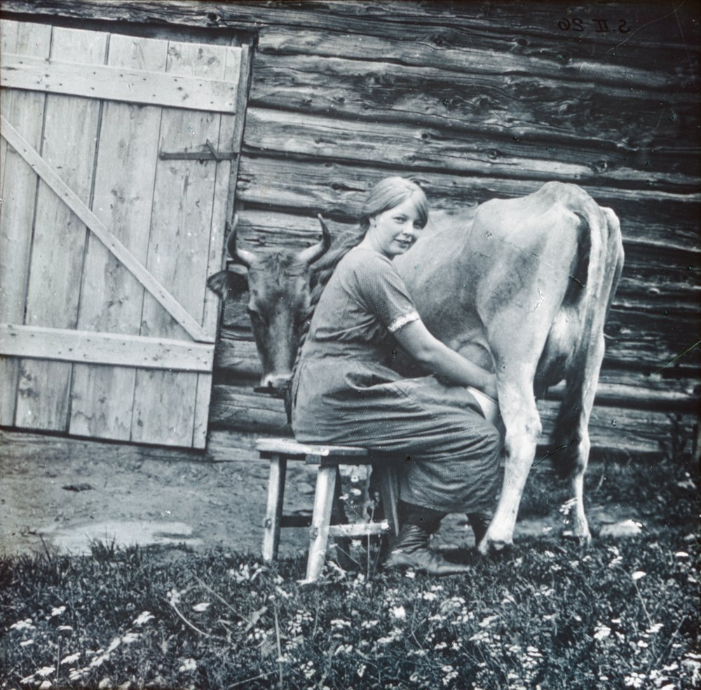 Homestead | how to hand-milk the cow | Norway