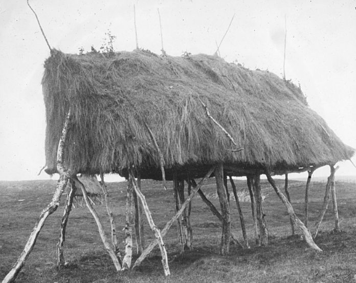 Haymaking, the Sami way. Probably lifted from the ground so that the animals can not get to it. The structure is called a «luovvi» - and is also used for the storage of food etc. Kautokeino, Finnmark, Norway. | Photo: Alf Schrøder co - digitalmuseum.no FBib.01005-028 - Public domain.