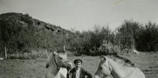 This beautiful 1940s photo shows the close connection between two Norwegian Fjord horses and Alf Larsen - son of Sara and Lars A. Larsen. The location is the slate quarries in Friarfjord, Lebesby, Finnmark, Norway.   Photo: Finnmark fylkesbibliotek - digitaltmuseum.no FBib.13004-004 - public domain.