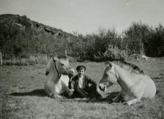 This beautiful 1940s photo shows the close connection between two Norwegian Fjord horses and Alf Larsen - son of Sara and Lars A. Larsen. The location is the slate quarries in Friarfjord, Lebesby, Finnmark, Norway. | Photo: Finnmark fylkesbibliotek - digitaltmuseum.no FBib.13004-004 - public domain.