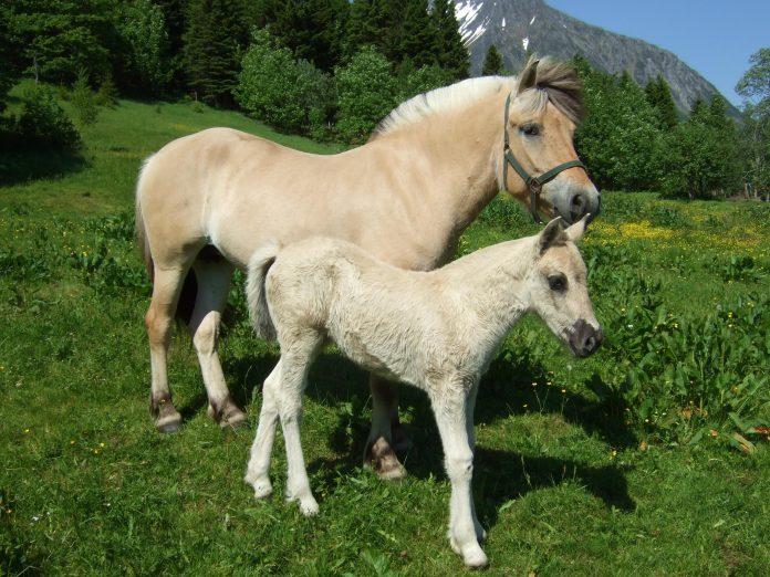Norwegian Fjord horse - mare and foal. Ørsta, Møre og Romsdal.   Photo: googleme - wikimedia - CC BY-SA.