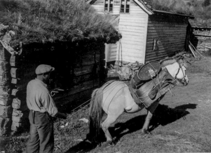 Through the millennia, this is how the Norwegians used the Norwegian Fjord horse to transport goods - through the roadless mountains and forests. The man in the photo is Nils Havrevoll - and it was taken in 1945. The location is Havrevoll, Suldal, Rogaland. | Photo: Marta Hoffmann - digitaltmuseum.no NF.02941-044 - cc by-sa.