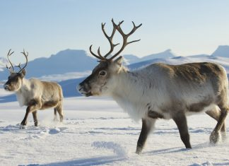 Reindeer - Norway. | Photo: Dmitry Chulov - adobe stock - copyright.