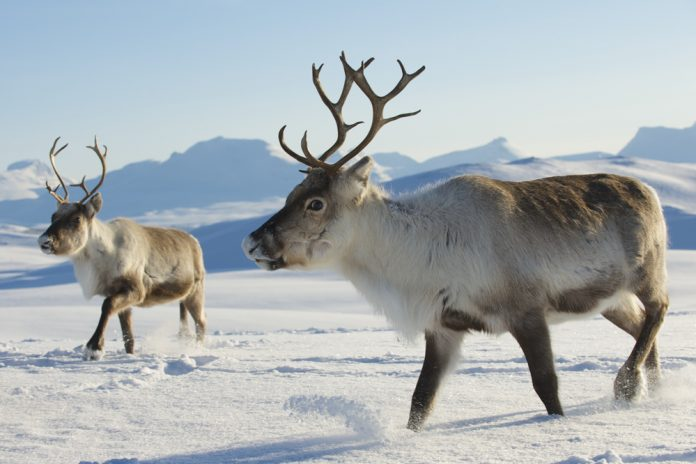 Reindeer - Norway. | Photo: Dmitry Chulov - adobe stock - copyright.