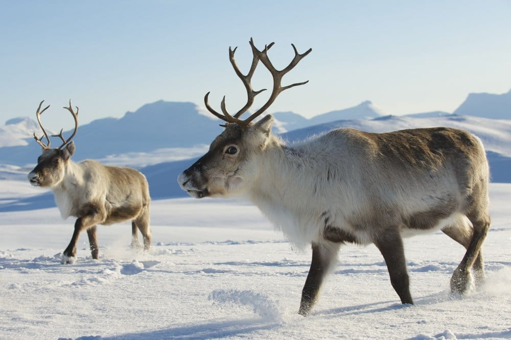 Reindeer | an ancient presence in the Norwegian mountains