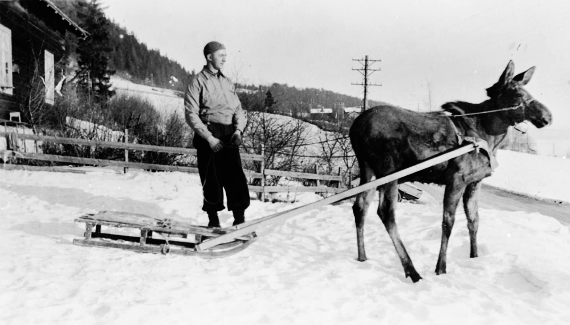 Moose calf saved from drowning in 1939 | Norway
