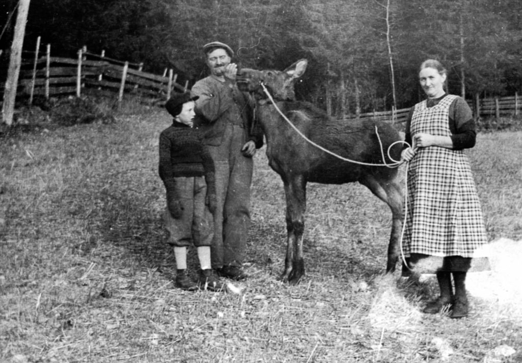 From the left: Arne Løvstuen, Andreas Løvstuen and Marie Løvstuen - with their domesticated moose in 1939. The location is Løvstuen, Brøttum, Ringsaker, Hedmark, Norway. | Photo: Unknown domkirkeodden - digitaltmuseum.no 0412-02394 - public domain.