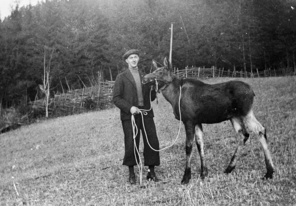 Magne Løvstuen with his domesticated moose in 1939. The location is Løvstuen, Brøttum, Ringsaker, Hedmark, Norway. | Photo: Unknown domkirkeodden - digitaltmuseum.no 0412-02396 - public domain.