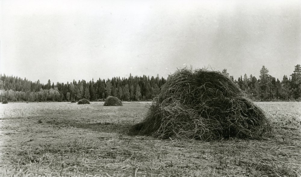 Marsh grass cut on the ice - in November 1920. Frosktjønna, Jons, Galåsen, Trysil, Hedmark, Norway. | Photo: Haakon Garaasen - Trysil Engerdal museum - digitaltmuseum.no 0428-0000-00525 - public domain.
