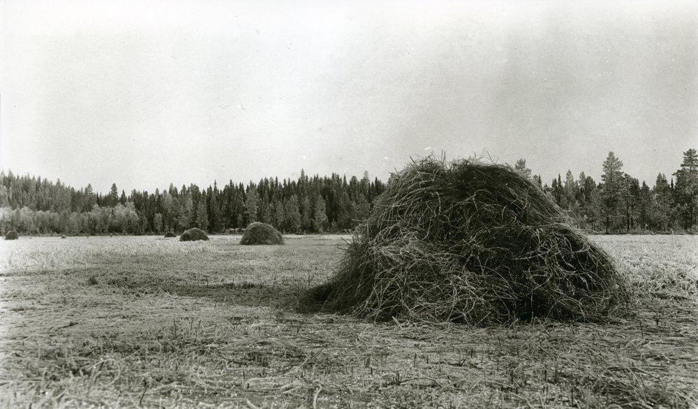 Marsh grass cut on the ice - in November 1920. Frosktjønna, Jons, Galåsen, Trysil, Hedmark, Norway. | Photo: Haakon Garaasen - Trysil Engerdal museum - digitaltmuseum.no 0428-0000-00525 - public domain.