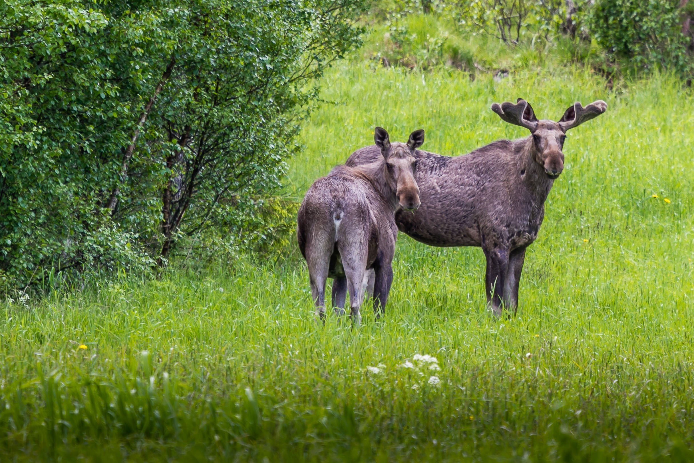 Moose in the wild, Norway. | Photo: Arne Madsen - adobe stock - copyright.