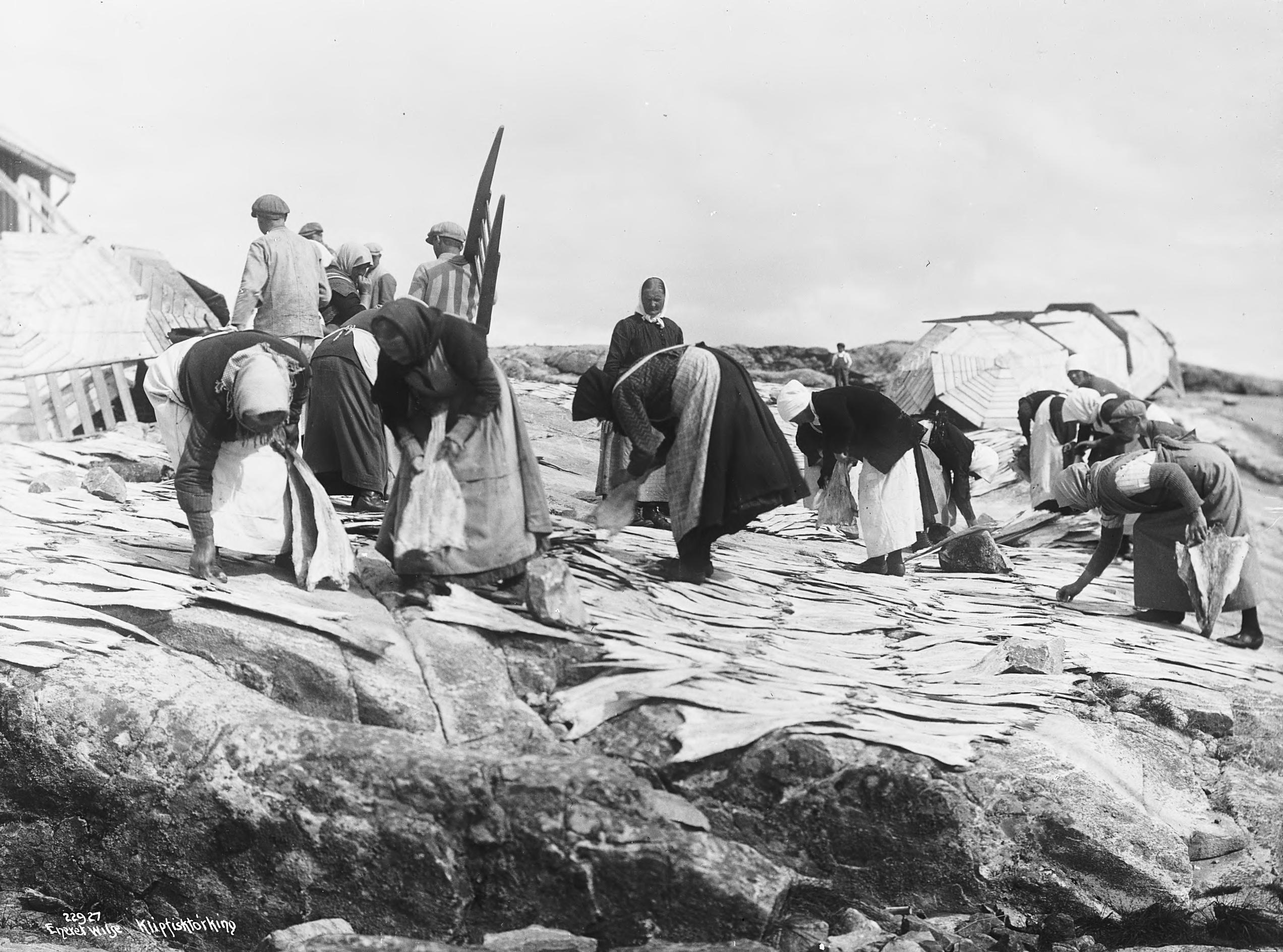 Placing the salted klippfisk on the rocks to dry. | Photo: Anders Beer Wilse - Norsk Folkemuseum cc pdm.