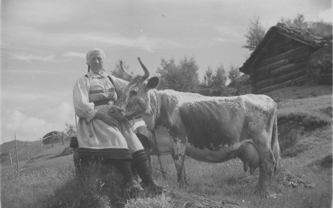 Vintage photos | the dairy cow on the old farm | Norway