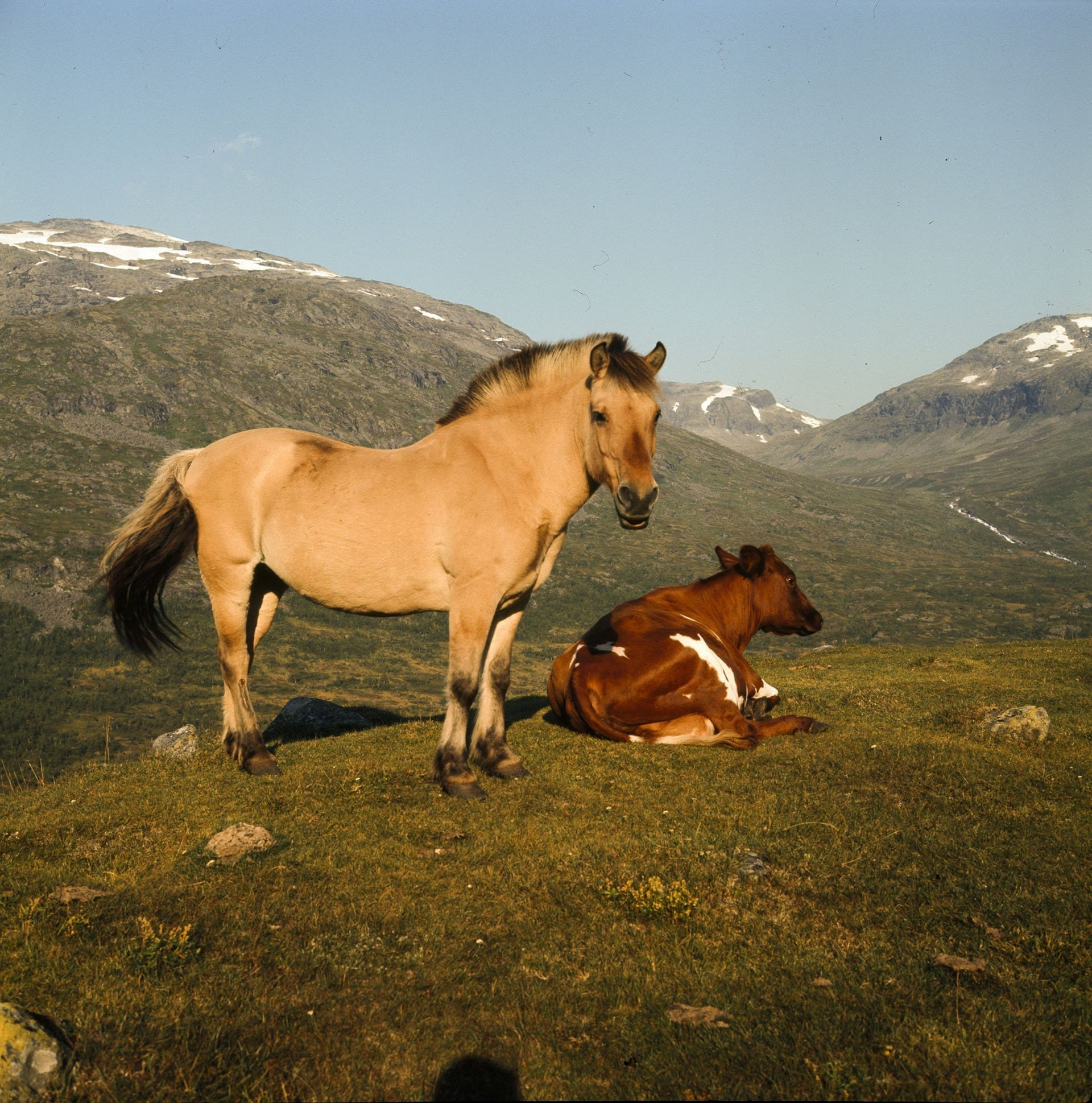 A Norwegian Fjord horse and a cow resting in the beautiful Jotunheimen mountain landscape. The location is Årdal, Sogn og Fjordane, Norway - in 1968. | Photo: Paul A. Røstad - DEXTRA Photo cc by.