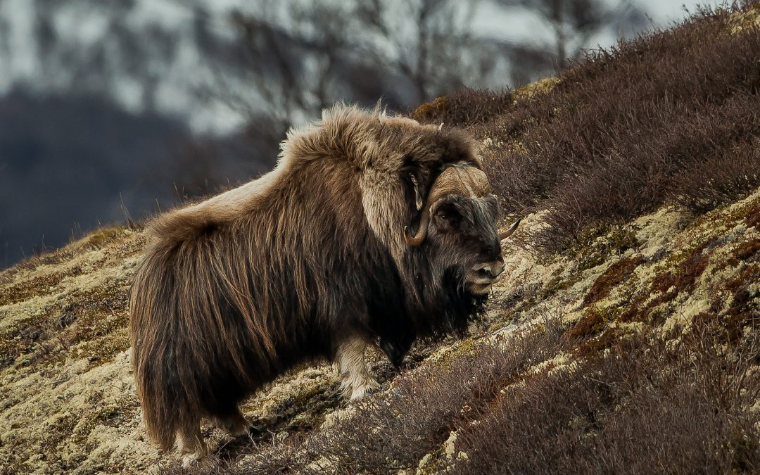 Muskox | a newcomer in the Norwegian landscape | Norway