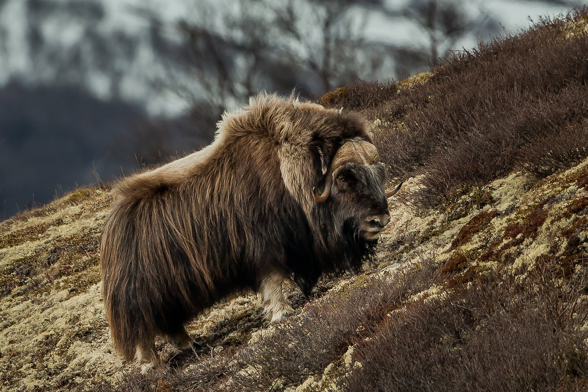 A muskox in the Dovre mountains.   Photo: Per Harald Olsen - NTNU, Faculty of Natural Sciences cc by.