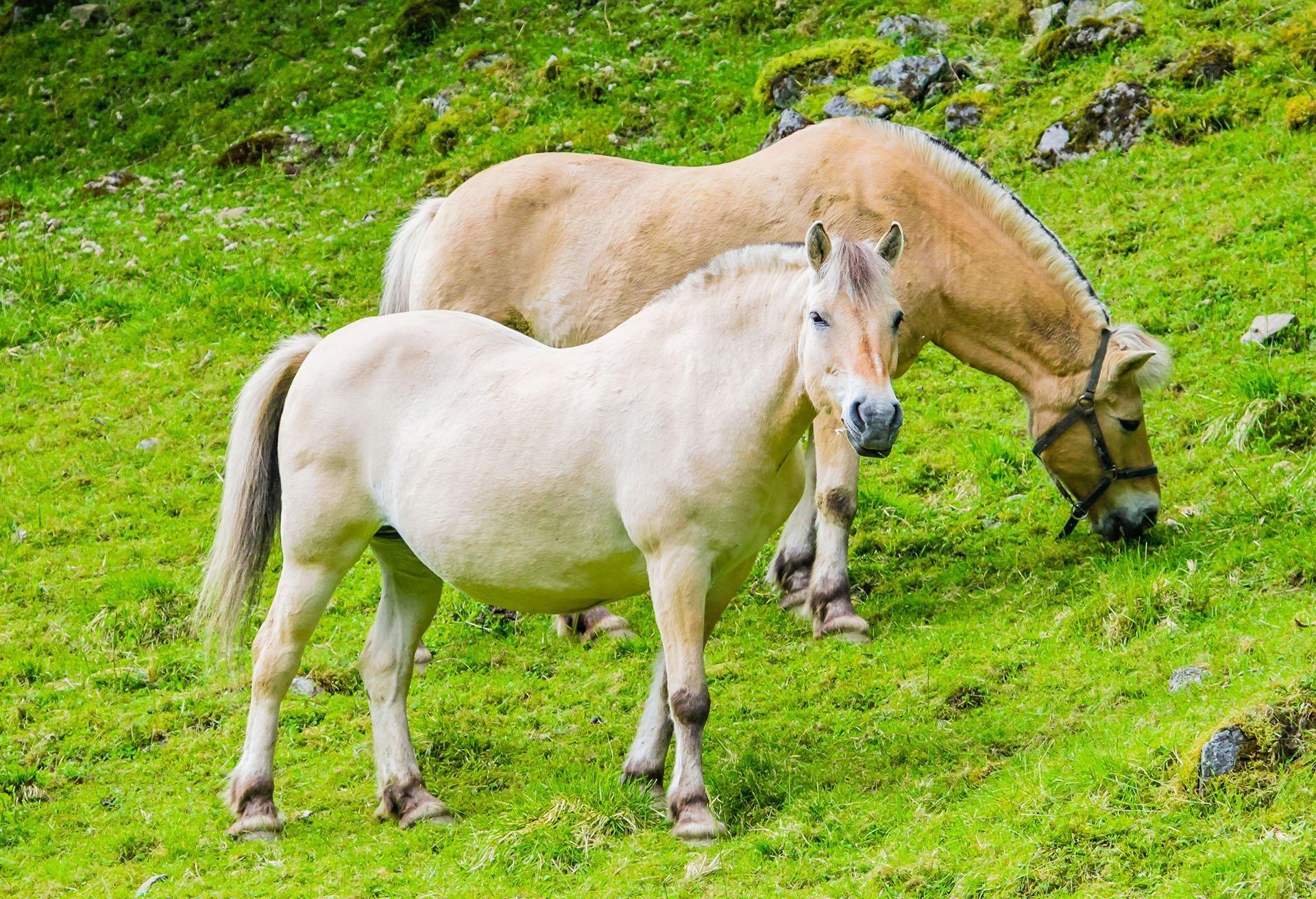 The Norwegian Fjord horse. | © Marius Dobilas - stock.adobe.com.