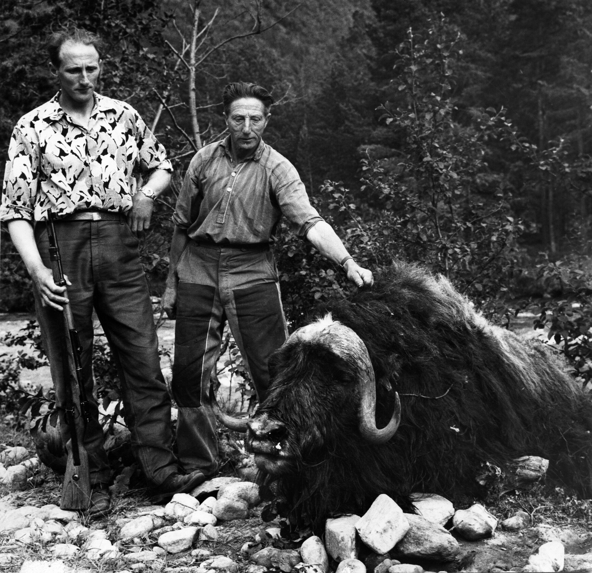 Inge and Iver Stølen with the killer muskox bull. | Photo: C. Jacobsen - Trondheim byarkiv cc by.