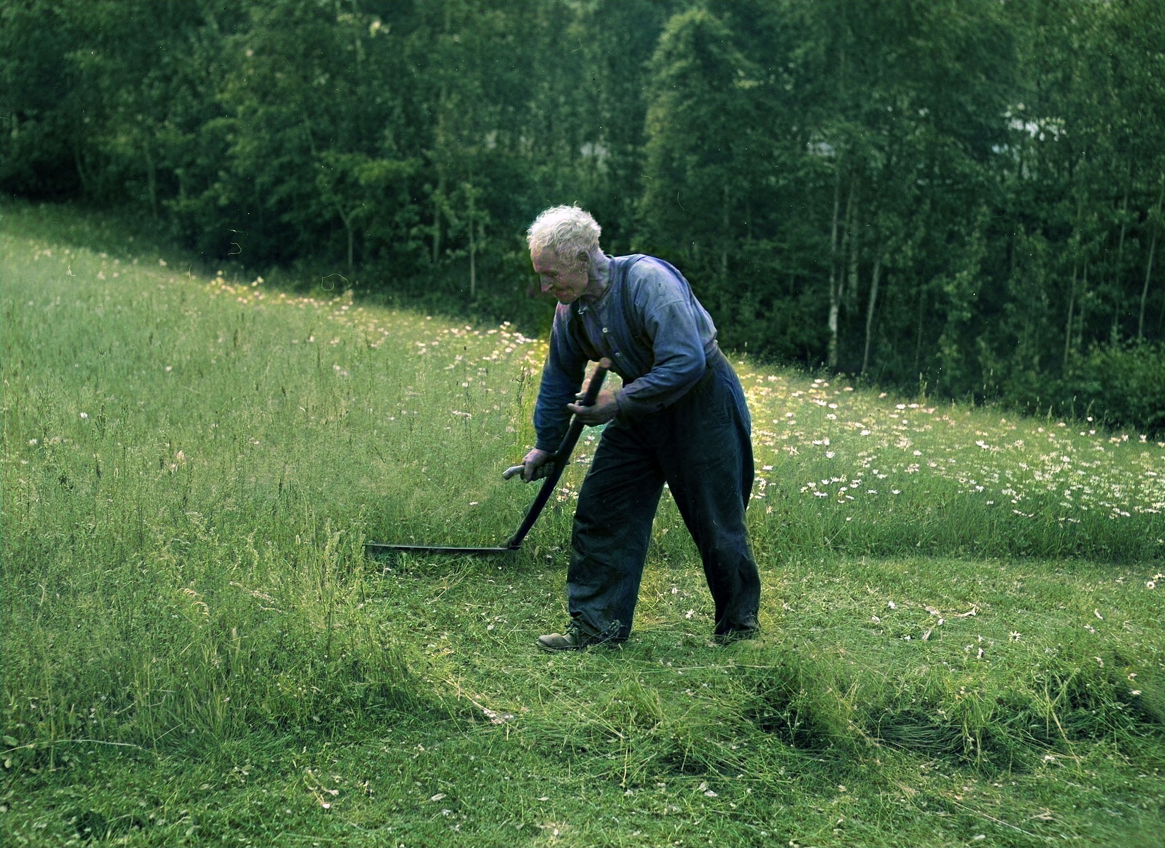 A man mowing the meadow using his ljå around 1950 - in Bagn, Valdres, Oppland, Norway.   Photo: Mittet & Co. AS DeOldify cc pdm.